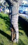 """Εντυπωσιακοί """"έλικες"""" του άγνωστου φυτού, πάνω στον κορμό του δέντρου"""